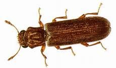 Powderpost Beetle Powder Post Beetles How To Kill And Get Rid Of Powder