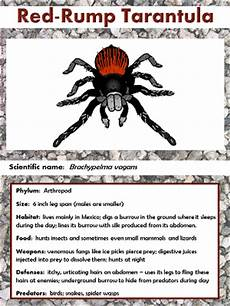Tarantula Chart Red Rump Tarantula Facts