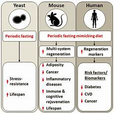 diet that mimics fasting appears to aging
