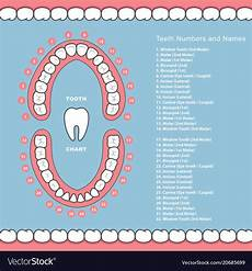 Tooth Number Chart Adults Tooth Chart With Names Dental Infographics Vector Image