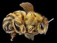 Honey Bees African Ancestors May Hold Cure For Biting