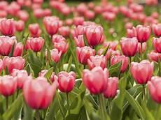 tulipani fiori significato fiori tulipano linguaggio dei fiori