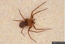 Light Brown Spider Florida Spiders Black Widow And Brown Recluse Walter Reeves