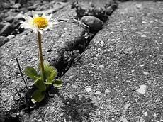 fiori tra l asfalto fiore spunti dal muro screpolato io ti colgo dalla
