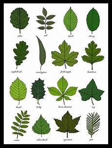 Tree Leaves Chart Leaves Identification Print Wall Art Chart Botanical Leaf