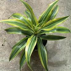 Dracaena Low Light Victoria Dracena Plant At Rs 10 Piece ड क र ट व प ल ट