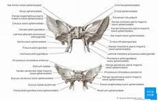 Sphenoid Bone Sphenoid Bone Anatomy Function And Development Kenhub