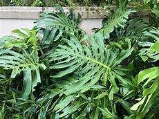 Monstera Deliciosa Light Monstera Deliciosa Care Commonly Known As Swiss Cheese Plant