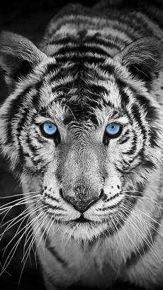 black and white tiger iphone wallpaper white tiger iphone wallpaper iphone wallpapers