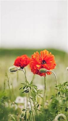 poppy flower wallpaper iphone poppy the iphone wallpapers