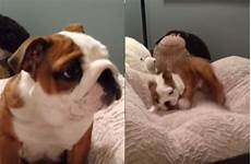 bulldog puppy his bed so much