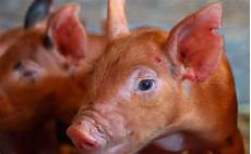 Ear Notch Pig Hearts On Noses A Mini Pig Sanctuary