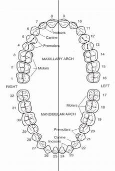 Dental Charting Systems Dental Tooth Numbering System Chart Dental Teeth Dental