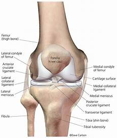 Right Knee Anatomy Knee Joint Front View 1a Carlson Stock Art