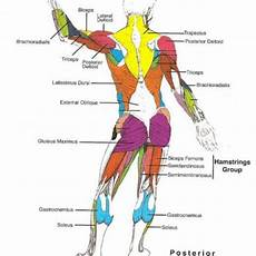 Full Body Anatomy Chart Muscle Blank Drawing Google Search