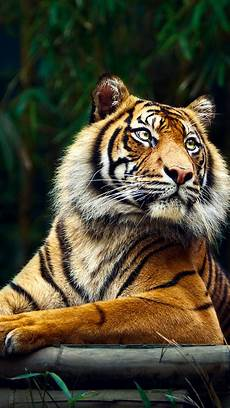 tiger wallpaper iphone 7 tiger in jungle best iphone 5s wallpapers tiger