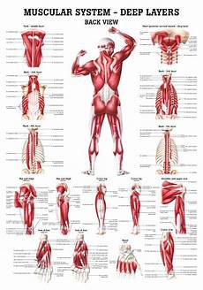 Full Body Anatomy Chart The Muscular System Deep Layers Back Laminated Anatomy