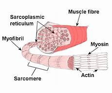 Skeletal Muscle Structure Muscular System Structure Of Skeletal Muscle Muscles