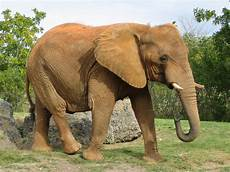 Malvorlage Afrikanischer Elefant File Afrikanischer Elefant Miami Jpg