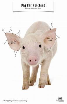 Ear Notch Pig Pig Ear Notching Poster One Less Thing