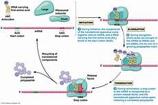 Transcription Biology Transcription And Translation Tutorial Learning