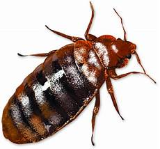 bed bug png images free