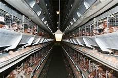 gabbia galline quot fuorilegge le uova delle galline in gabbia quot ilgiornale it