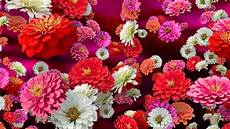 Floral Backgrounds Colorful Zinnias Floral Background For Videos Youtube