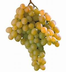 uva da tavola uva da tavola di canicatt 236 igp