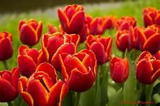 tulipani fiori tulipani foto immagini piante fiori e funghi