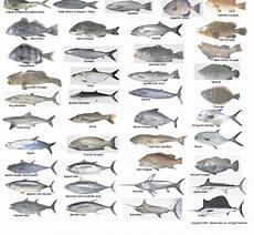 Florida Fish Id Chart Florida Fish And Fishing