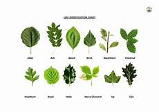 Tree Leaves Chart Oak Leaf Identification Chart Plant Identification