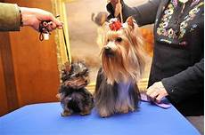 the changes in a yorkie s coat pets