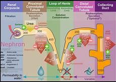 Adh Vs Aldosterone Venn Diagram Nephron Diagram Of The Urine Formation The Number Inside