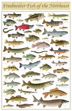 Maine Fish Species Chart Freshwater Fish Of The Northeast Poster 11x17 Inch Print By