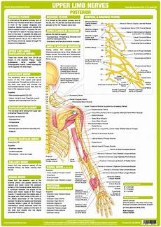 Chart Of Nerves In Back Upper Limb Nerve Chart Posterior Chartex Ltd