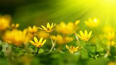 yellow flower wallpaper hd free yellow flowers wallpapers high quality free