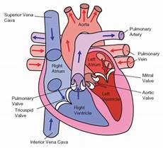 Chart Of Blood Flow Through Heart The Heart