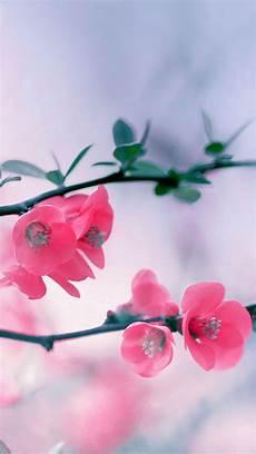 phone flower wallpaper apps cherry blossom flowers iphone 6 wallpaper hd flowers