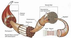 Skeletal Muscle Structure 1 Gross Anatomical Structure Of Mammalian Skeletal