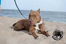 Designer Pitbulls Cost Delicate Pitbull Dog Collar In White With Two Rows Of