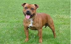 Staffordshire Bull Terrier Weight Chart The Staffordshire Bull Terrier A Courageous Loving