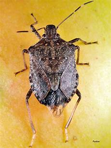Brown Marmorated Stink Bug Brown Marmorated Stink Bug Peppers Ontario Cropipm