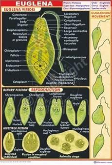 Euglena Classification Chart Victory Graphik Z 46 Paramecium Structure Binary