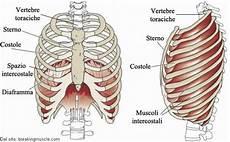 organi gabbia toracica costole o coste