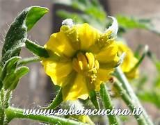 fiori di pomodoro erbe in cucina fiore di pomodoro claw