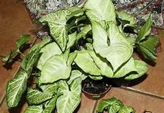 piante verdi da interno foto piante da vaso syngonium singonio syngonium podophyllum
