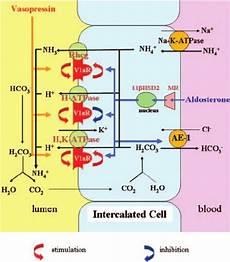 Adh Vs Aldosterone Venn Diagram Schematic Presentation Of Vasopressin And Aldosterone