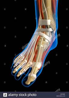 interno caviglia front view x ankle foot bones muscles ligaments