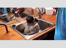 Barry The Pug Bathes In The Sink, Could Not Be Happier About It